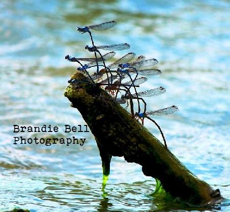 Damselfly Cluster by Brandie Bell