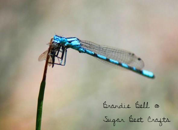 Photo Wednesday - A Damselfly Feast